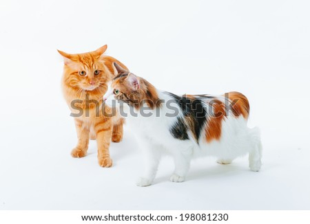 Cat isolate on white. Beautiful Red cat on white background. #198081230