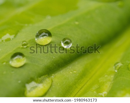 raindrops on a large green leaf in a garden in rainy weather Royalty-Free Stock Photo #1980963173