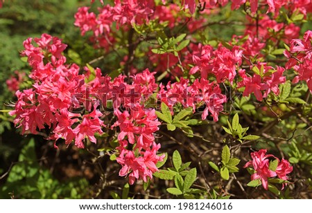 Rhododendron hybridum Rosy Lights, woody plant in heath family (Ericaceae), deciduous Royalty-Free Stock Photo #1981246016