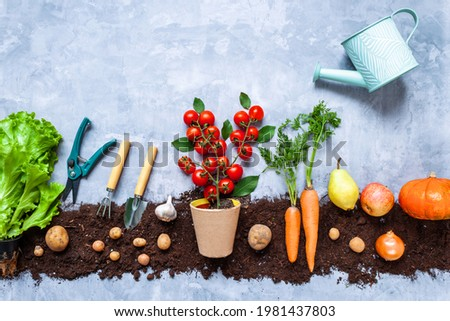 Cherry tomatoes grow in pot on background with natural vegetables, fruits, greens seedlings are planted on black earth bed. Tools for agriculture and farming. Urban garden concept. Autumn harvest. Royalty-Free Stock Photo #1981437803