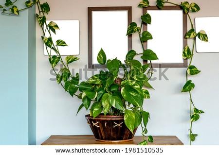 Boa plant mockup. Devil's ivy or Epipremnum aureum is a beautifu Royalty-Free Stock Photo #1981510535