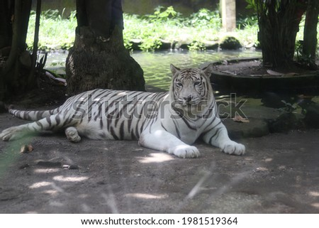 Large female white leopard in Indonesian nature, pictured while sitting under trees
