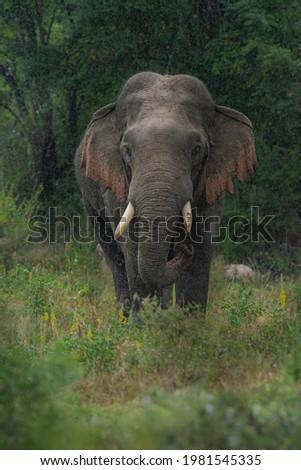 elephant bathing on the rain  Royalty-Free Stock Photo #1981545335