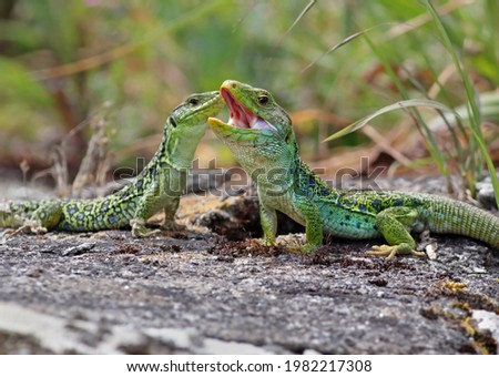 Couple of ocellated lizards (Timon lepidus) standing on a rock. Male and female reptiles mating. Beautiful and colorful green and blue lizards from Spain in natural mediterranean environment.  Royalty-Free Stock Photo #1982217308