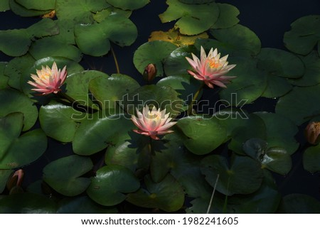 Water lily flowers in the botanical garden. Royalty-Free Stock Photo #1982241605