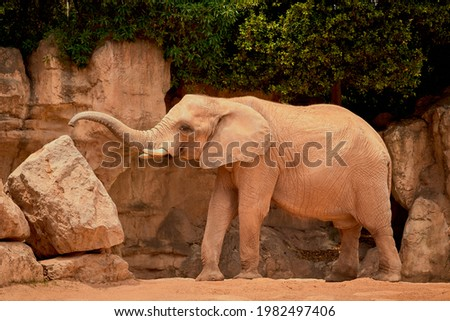 The largest pachyderm in the savannah Royalty-Free Stock Photo #1982497406