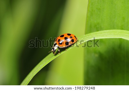 Lady beetles, a common insects, close-up pictures, in the north of China