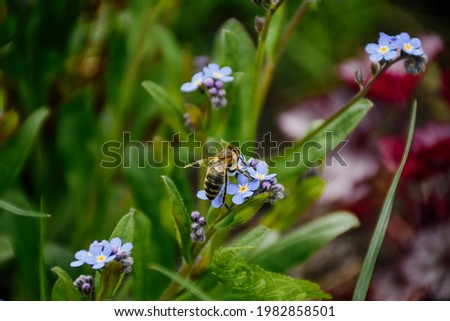 Myosotis flower. Background horizontal macro shot close-up. Natural nature background with blooming beautiful blue flowers and bee. Screensaver, background for the phone