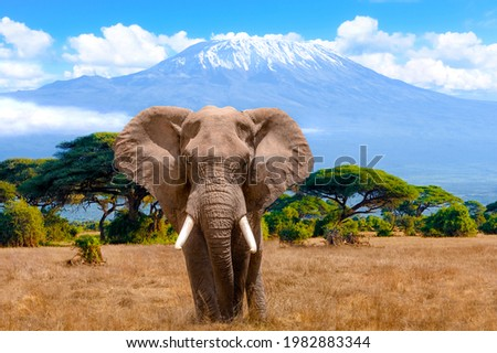A male elephant in front of Mount Kilimanjaro in Kenya National Park, Africa Royalty-Free Stock Photo #1982883344
