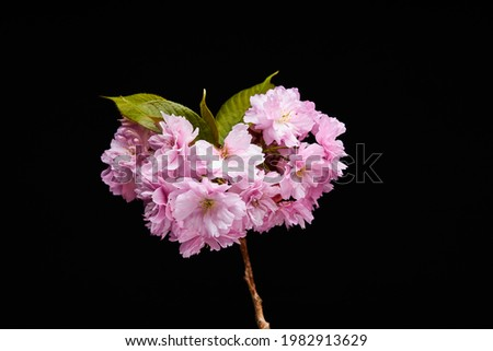 Pink flower photography on black background
