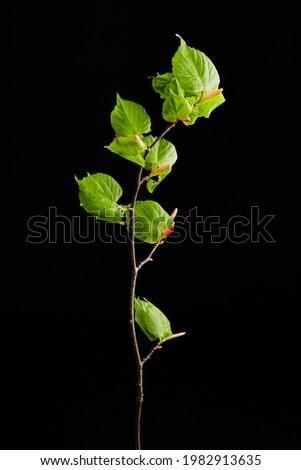 photography on black background of leaf on stem