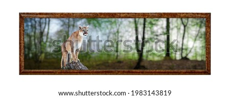 Cougar in a summer forest, mountain lion, puma. Framework in antique style. Vintage picture frame.