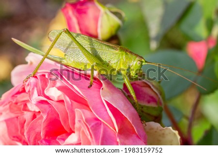 Greengrasshopper sitting on rose flower. Insects in nature close up. Horizontal orientation