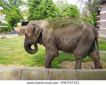 The Asian elephant, or Indian elephant, Elephas maximus is a mammal of the Proboscis order, a genus of Asian elephants Elephas and one of three modern species of the elephant family. Elephant walks. Royalty-Free Stock Photo #1983747323