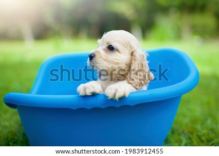 Isolated puppy in blue bed.One pup in the outdoor park.Cute American Cocker Spaniel little dog.Beige pet purebred.Furry animal. Royalty-Free Stock Photo #1983912455