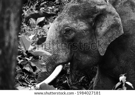 Asian Tusker eating alone in forest Royalty-Free Stock Photo #1984027181