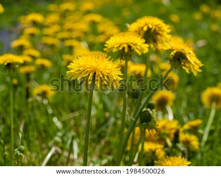 yellow flowers dandelions in a field, spring summer sunny mood, close-up of a field of dandelions on the background