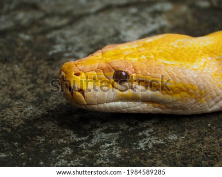 Picture of a albino Python snake head on a park. The Pythonidae, commonly known as pythons, are a family of nonvenomous snakes found in Africa, Asia, and Australia.