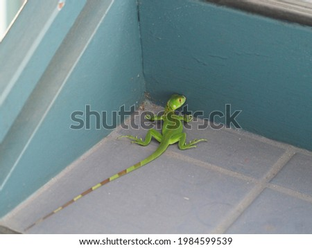 A closeup of a common green iguana on the tailed floor indoors Royalty-Free Stock Photo #1984599539