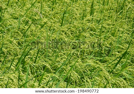 Rice fields of tropical South East  #198490772