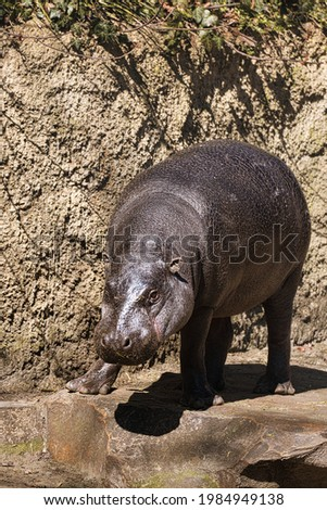 A hippopotamus (Hippopotamus amphibius) from the Berlin Zoo. These pachyderms are usually very relaxed Royalty-Free Stock Photo #1984949138