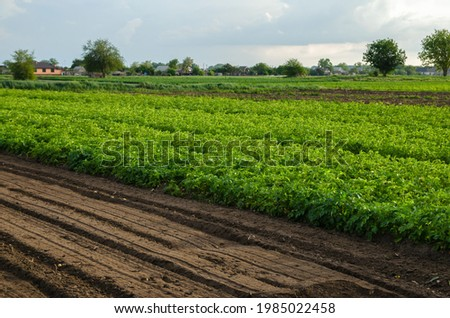 Potato plantation and a field with loosened soil. Loose crushed moist soil after cultivating. Loosening surface, land cultivation. Agribusiness farming. Beautiful countryside farmland. Royalty-Free Stock Photo #1985022458