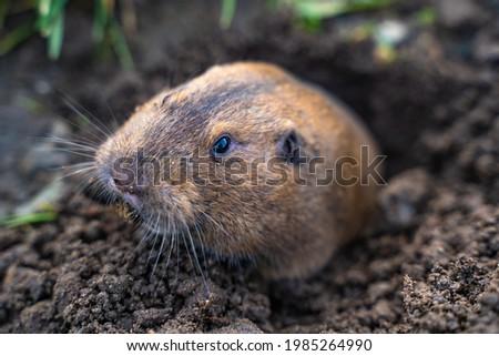 Valley Pocket Gopher (Thomomys bottae) emerging from the burrow. Wildlife photography.