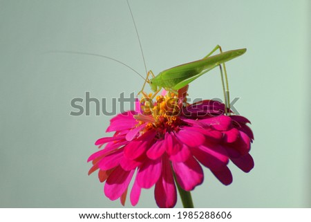 A green grasshopper clings to a magenta flower. It's a very beautiful picture of nature