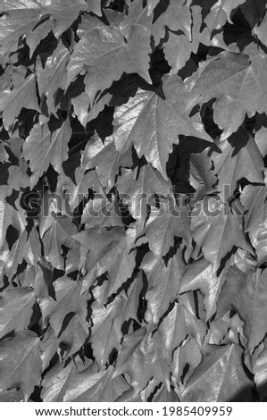 Background composed of a vertical picture of ivy leaves in black and white.