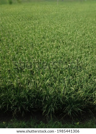 the rice fields are so green Royalty-Free Stock Photo #1985441306