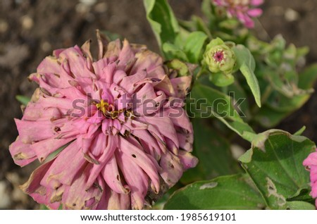 Zinnia flower on a plant in a house garden. Flower is woody, old, faded, and badly damaged by insects. India Summer season. Royalty-Free Stock Photo #1985619101