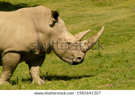 An incredible close-up side view of a rhinoceros on safari with large horns grazing and ears at attention.                              Royalty-Free Stock Photo #1985641307