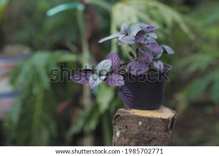 Red Flame Ivy (Hemigraphis colorata) with Purple and green leaves stock photo. Also called as purple waffle plant, Sambang getih, or remek daging. Indonesian native plants with medicinal properties. Royalty-Free Stock Photo #1985702771