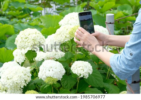 Woman taking pictures of hydrangea flowers