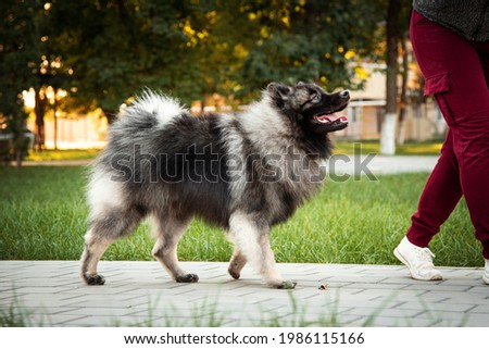 magnificent photographs of Keeshond, this is an anti-stress both in life and in photography, we can buy not only photographs of Keeshond, but also the kids themselves.