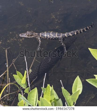 Baby gator and Florida gar in the pond. Florida, Everglades National Park, USA