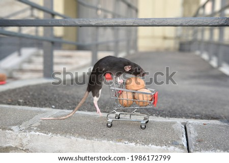 A wild red rat climbed onto a cart of walnuts from the supermarket. I go to the supermarket to buy