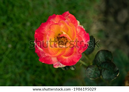 A light pink and yellow rose is a woody perennial flowering plant of the genus Rosa, in the family Rosaceae, or the flower bears many colors Royalty-Free Stock Photo #1986195029
