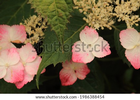 Pictures of beautiful hydrangea in Japan