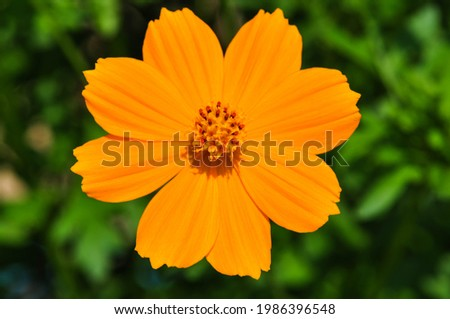 Cosmos sulphureus is a species of flowering plant in the sunflower family Asteraceae, also known as sulfur cosmos and yellow cosmos. Royalty-Free Stock Photo #1986396548