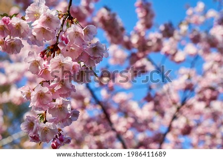 Selective focus of beautiful branches of pink Cherry blossoms on the tree under blue sky, Beautiful Sakura flowers during spring season in the park, Flora pattern texture, Nature floral background. Royalty-Free Stock Photo #1986411689
