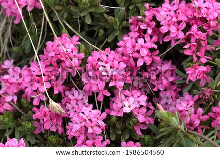 closeup of wild pink daphne shrub flowers in the grass on Rtanj mountain in Serbia Royalty-Free Stock Photo #1986504560