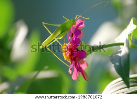 A green grasshopper clings to a magenta flower.It's a very beautiful picture of nature