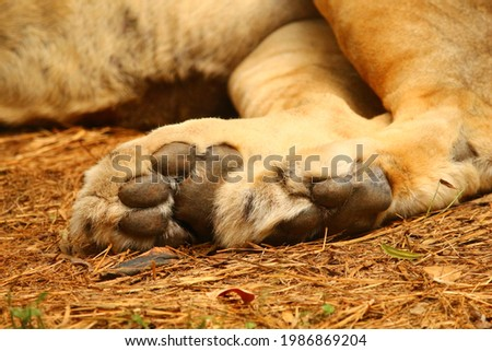 Close-up picture of a reclining lion's paws.