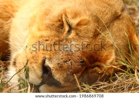Close-up picture of a sleeping lioness.