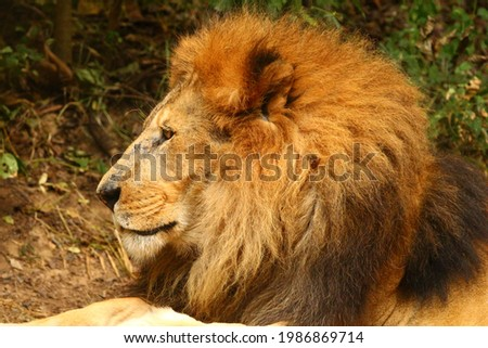 Picture of a reclining old alpha male lion.