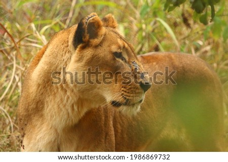 Picture of a lioness in the bush.