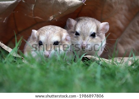 Gerbils are very popular pets because they are cute, clean, and not aggressive.