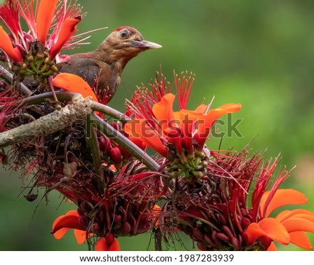 Critically endangered Okinawan woodpecker feeds on some beautiful red leaves. Royalty-Free Stock Photo #1987283939