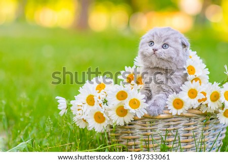 A small fluffy gray kitten of the Scottish breed sitting in a basket inside a bouquet of daisies on green grass, leaning its paws on a basket and looking to the side  Royalty-Free Stock Photo #1987333061